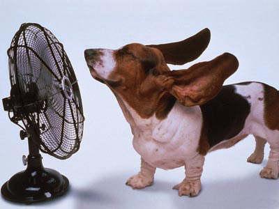 Basset Hound Keeping Cool